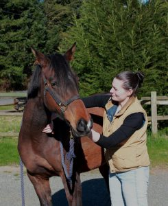 An equine patient receiving chiropractics
