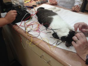 A feline patient receiving acupuncture